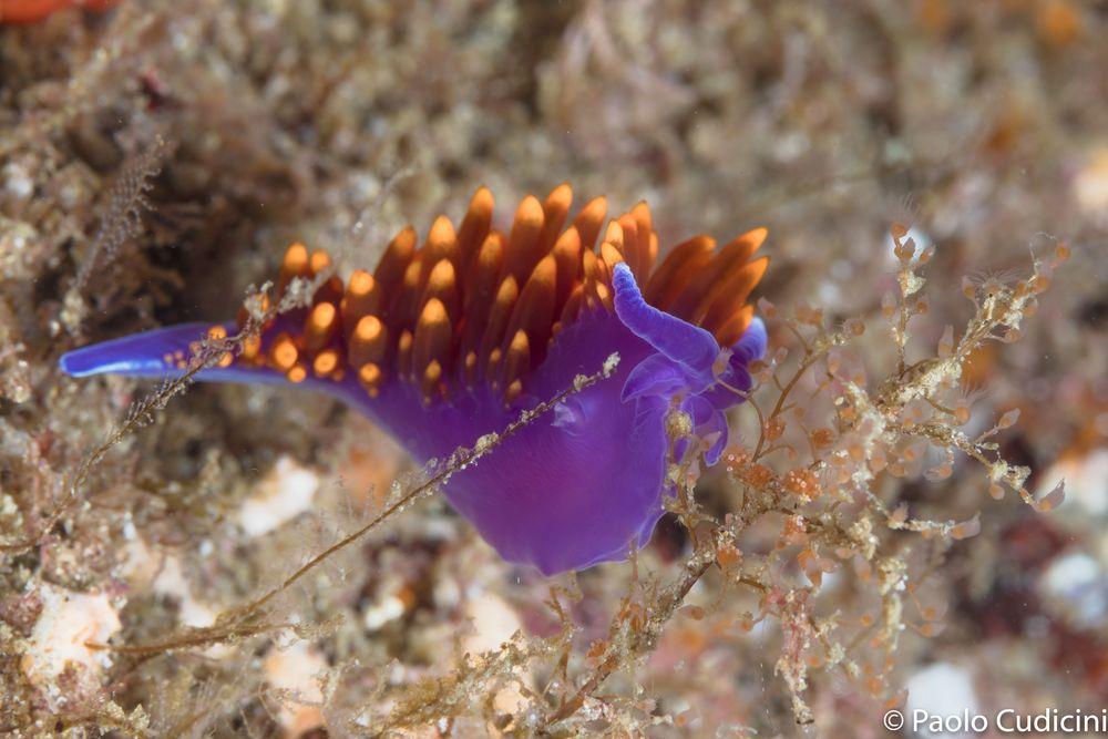 Dive, Flabellina iodinea, Rocio del mar, Sea of Cortez, Sub, web post
