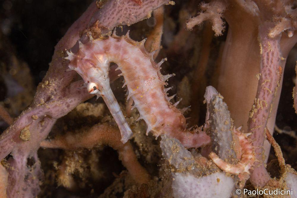 Hippocampus Histrix.    Spyny Seahorse.      Cavalluccio marino