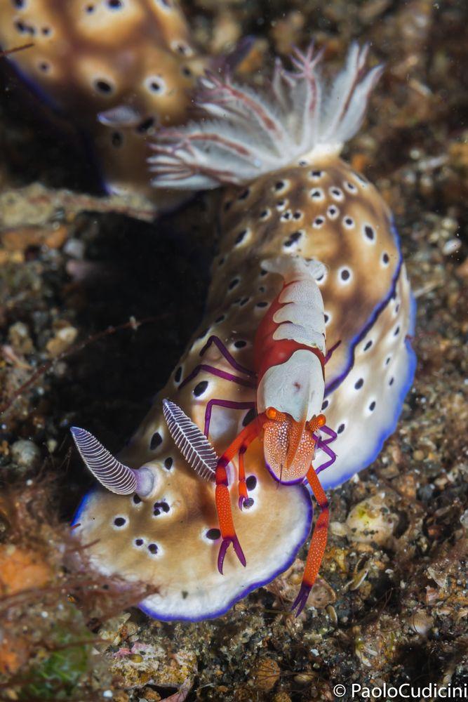 Hypselodoris tryoni. Emperor shrimp. Lembeh.-1997