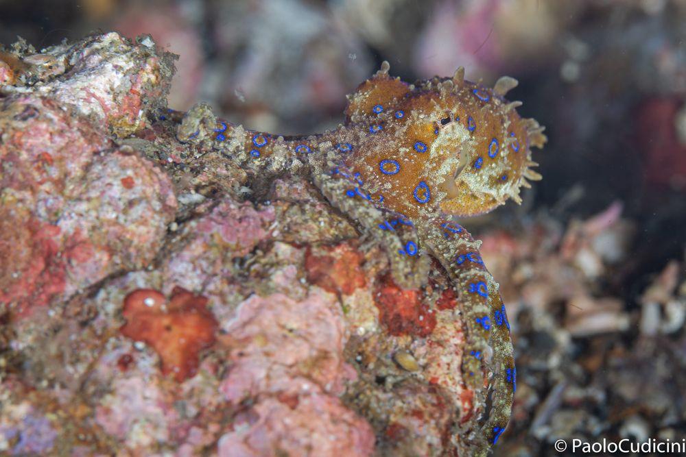 Blue-Ringed Octopus  Hapalochlaena    Polpo dagli anelli blu