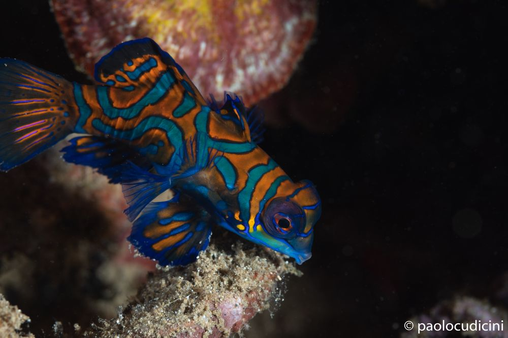 Mandarin Fish  Synchiropus splendidus