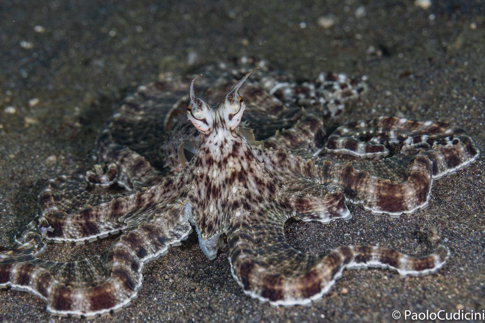 Thaumoctopus mimicus      Mimic Octopus.     Polpo mimetico