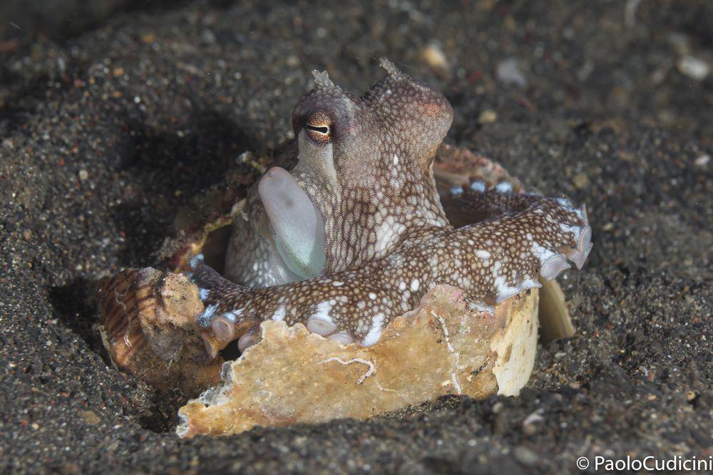 Coconut Octopus    Amphioctopus marginatus