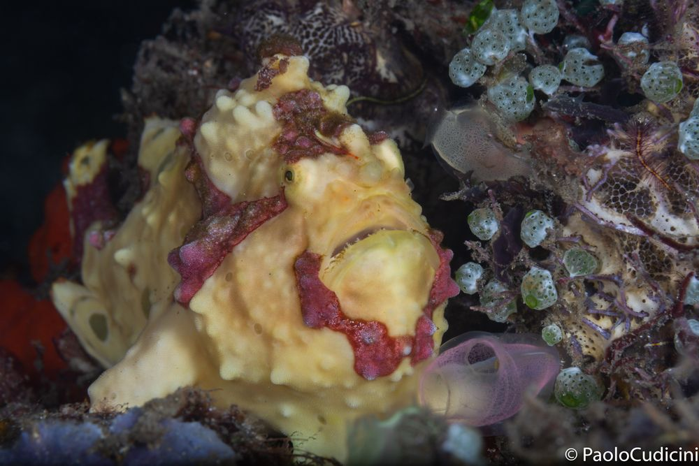 Warty Frogfish  Antennarius maculatus.     Pesce rana