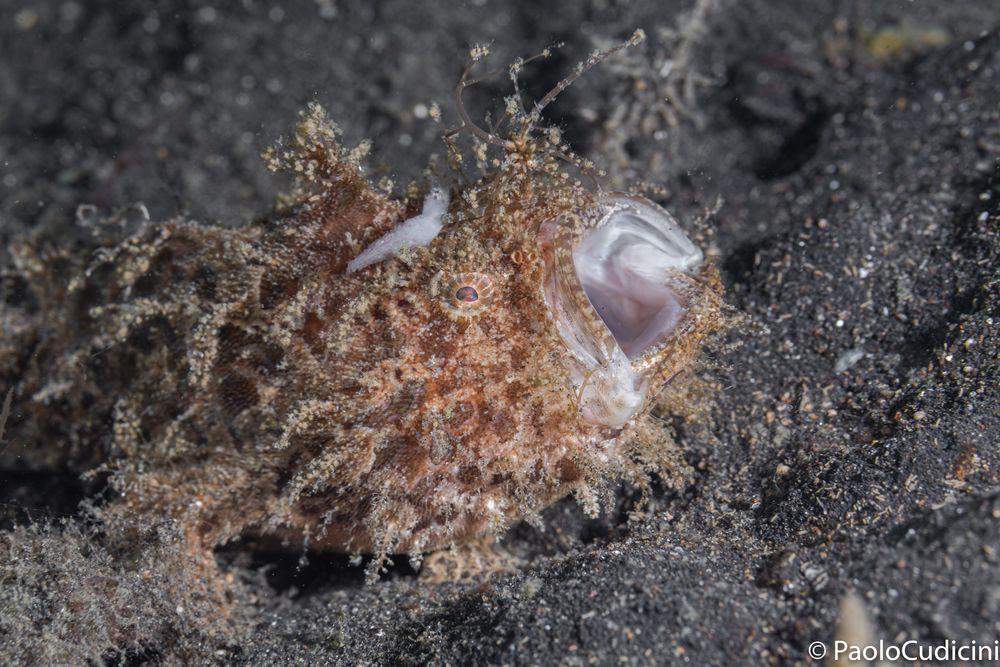 Striated frogfish  Antennarius striatus.   Pesce rana