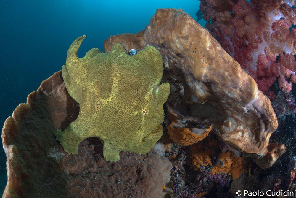 Giant Frogfish  Antennarius commersoni       Pesce rana