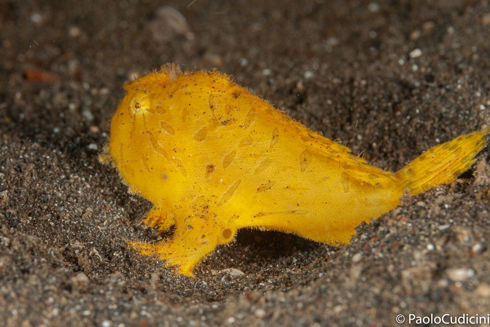Painted Frogfish  Antennarius pictus.        Pesce rana