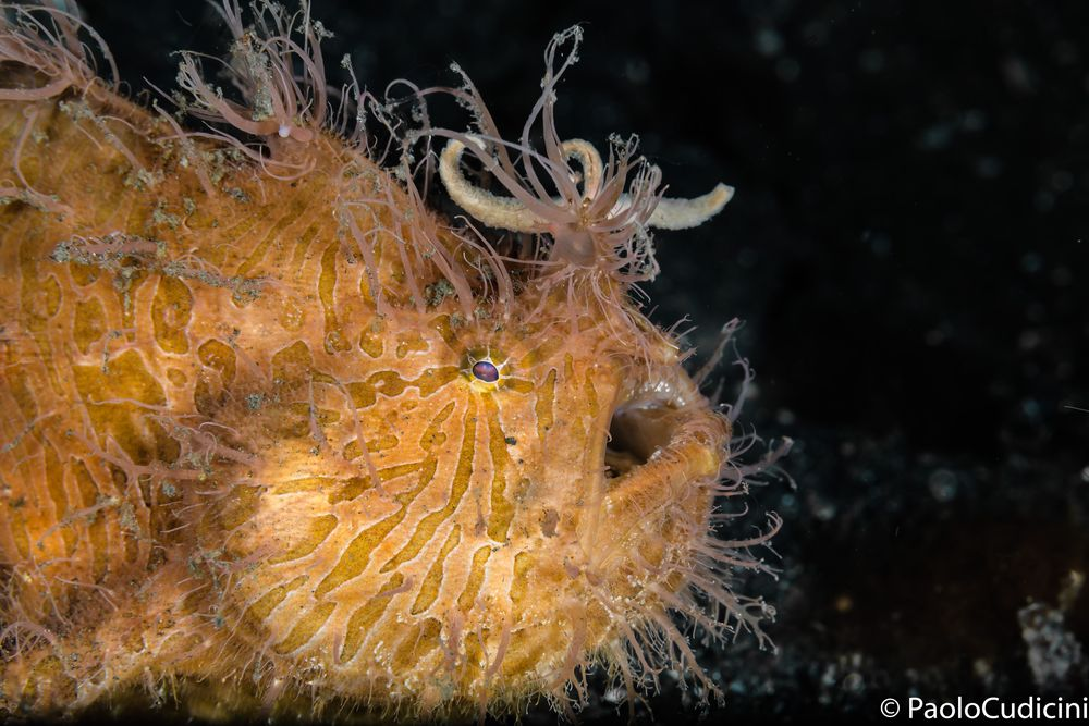 Striated frogfish-Hairy variation.  Antennarius striatus.        Pesce rana