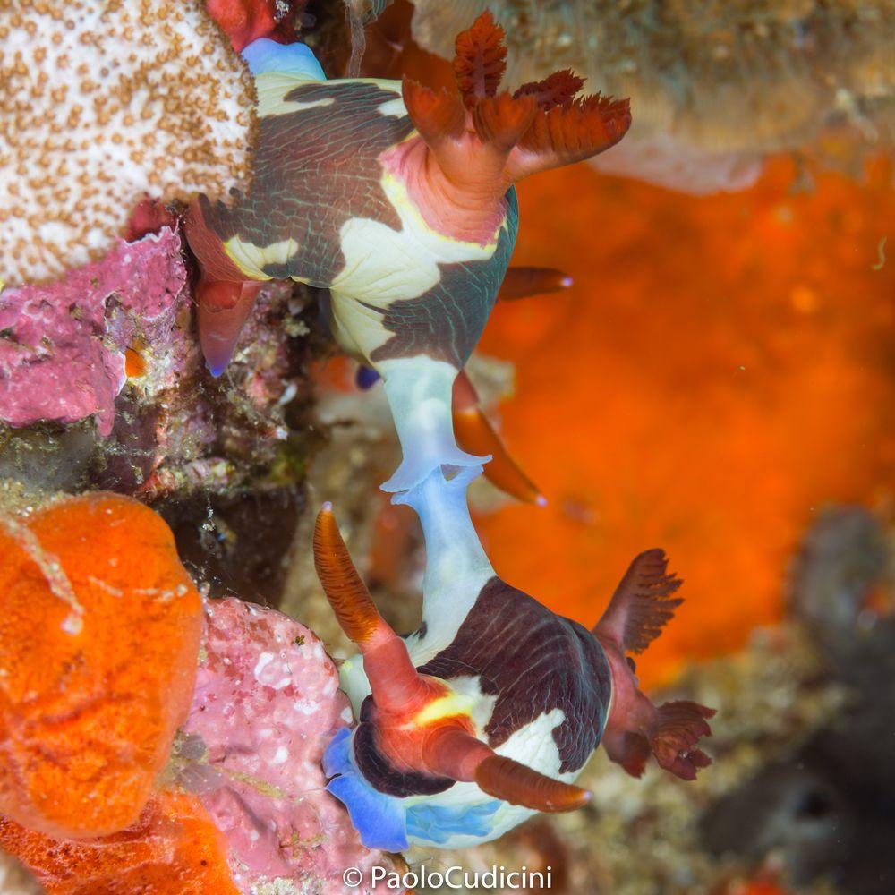 Nembrotha chamberlaini mating.Komodo-5394