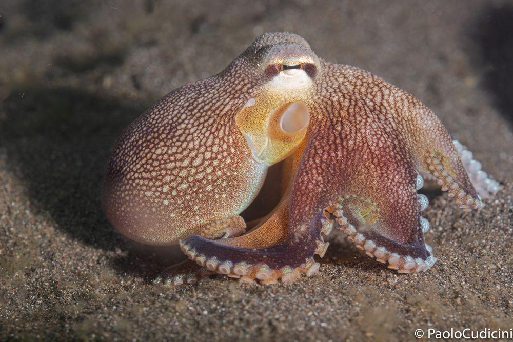 Amphioctopus marginatus    Coconut Octopus