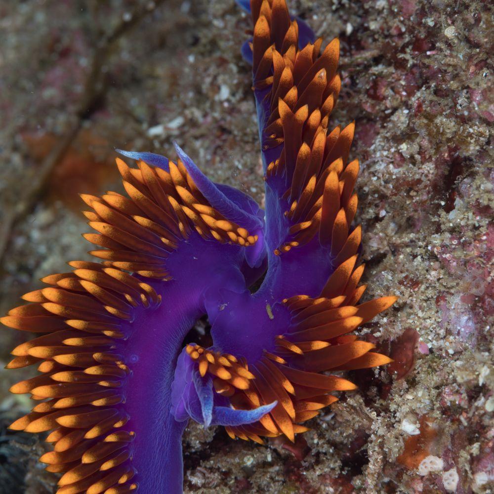 Hyselodoris ghiselini-Felimare californiensis,-9514