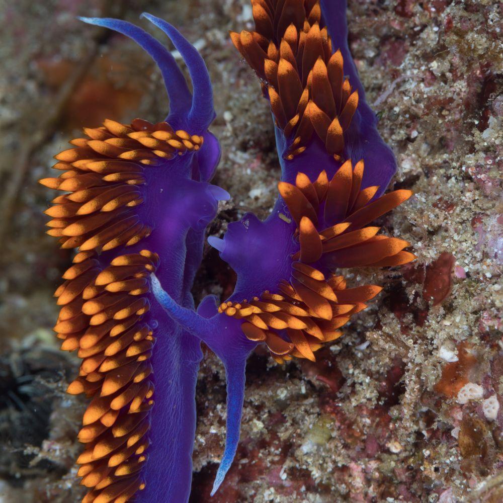Hyselodoris ghiselini-Felimare californiensis,-9510