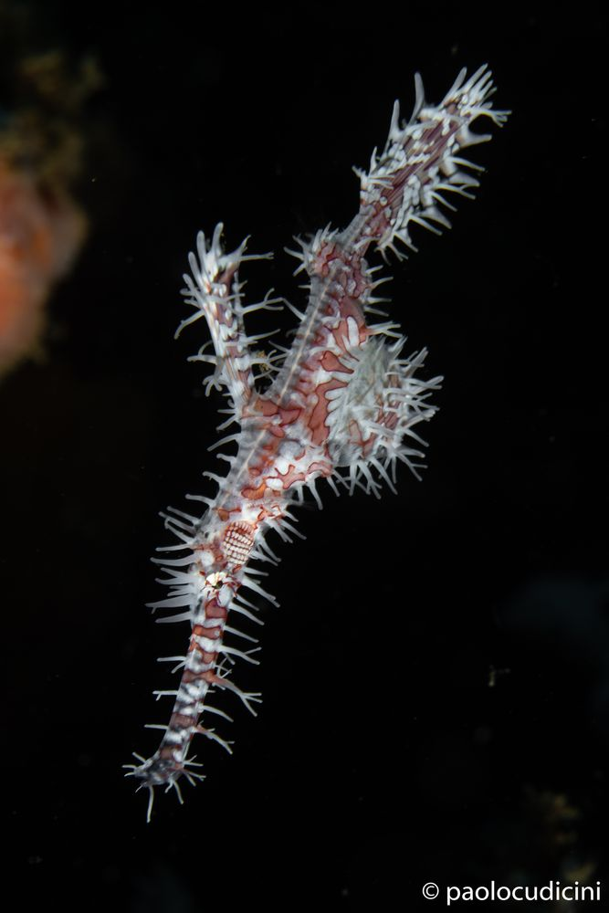 Ornate Ghost Pipefish  Solenostomus paradoxus.    Pesce fantasma