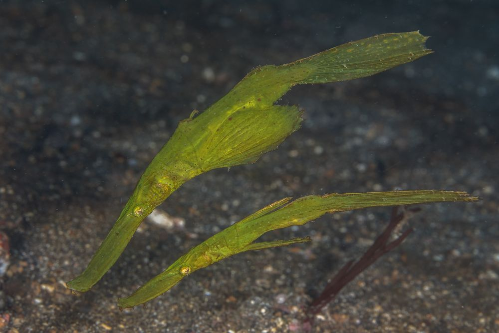Robust Ghost Pipefish  Solenostomus cyanopterus