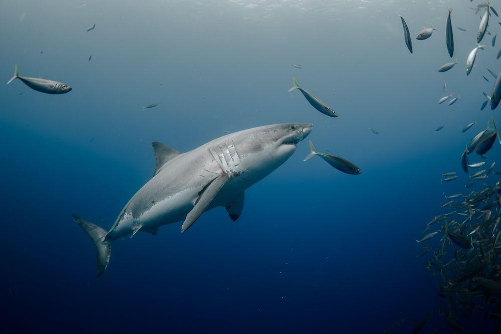 Great White Shark  Carcaridon carharias  Class: Chondrichthyes.  Squalo