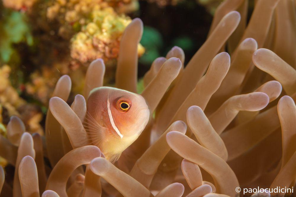 Pink Anemonefish  Amphiprion perideraion.     Pesce pagliaccio