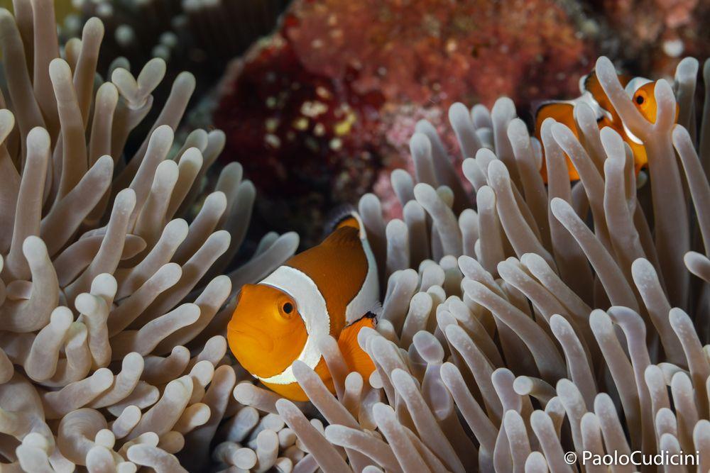 Clown Anemonefish  Amphiprion percula.   Pesce pagliaccio