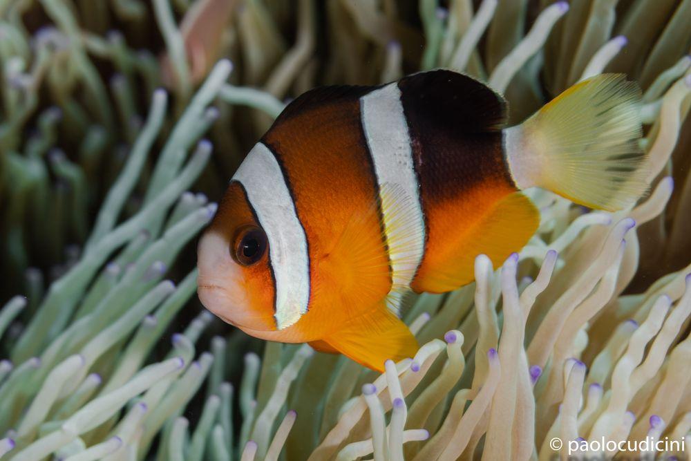 Clark's Anemonefish  Amphiprion clarkii.    Pesce pagliaccio