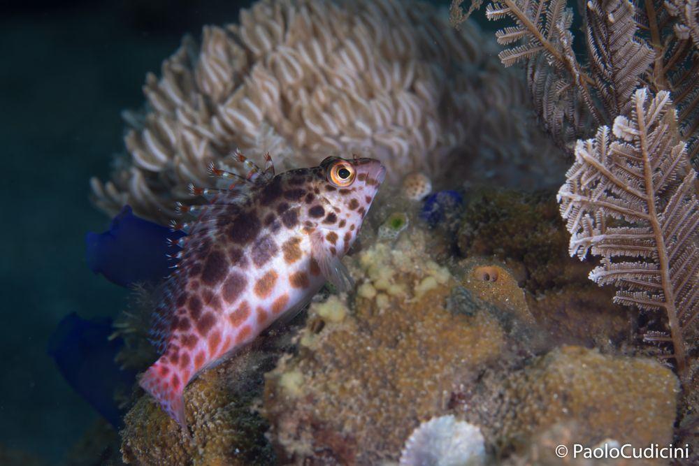 Cirrhitichthys oxycephalus.   Pixy Hawkfish.