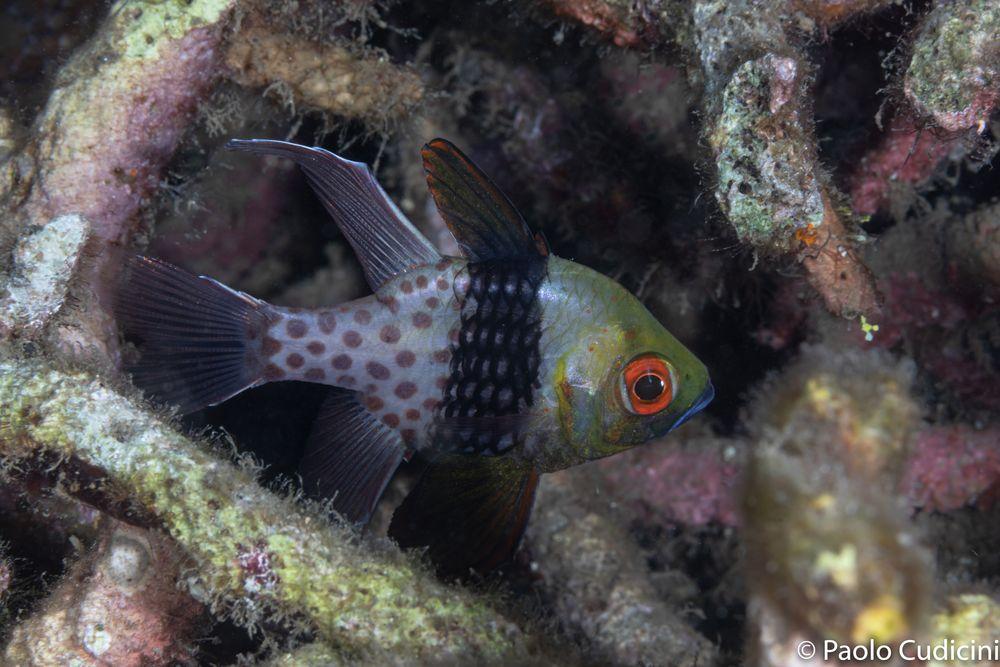 Sphaeramia nematoptera.   Pajama Cardinalfish.  Pesce cardinale pigiama.