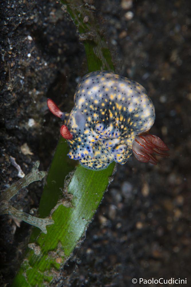 Hypselodoris infucata. Colorful Hypselodoris. Lembeh-2401