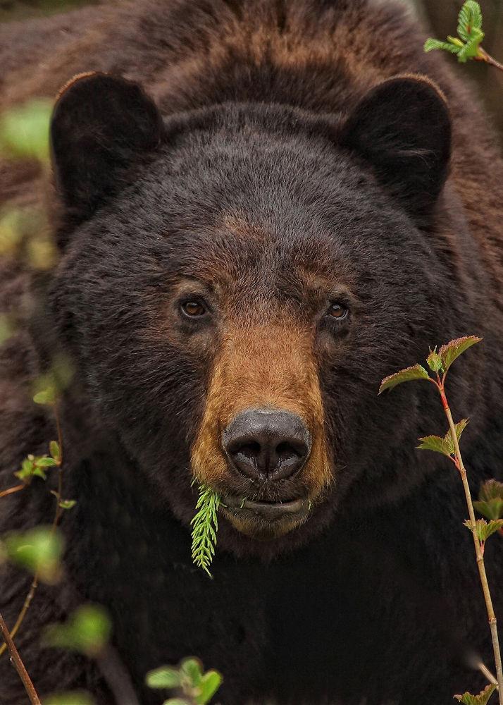 Photo in Animal #blackbear #nature #wildlife #portrait #ursus americanus.