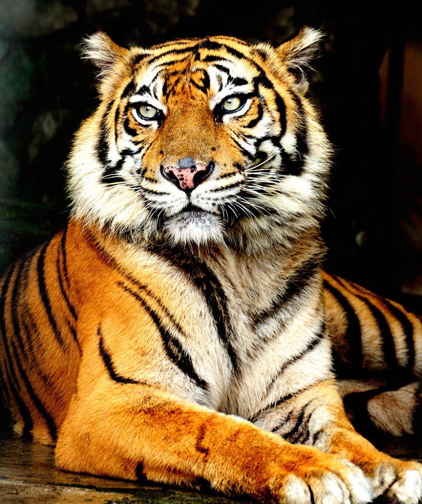 Photo in Animal #tiger #animal #portrait
