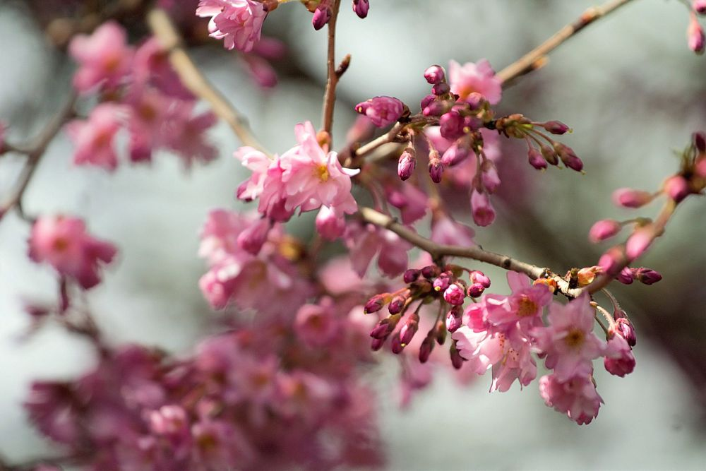 Photo in Nature #tree #blossomingtree #pinkblossoms #pinktreeblossom