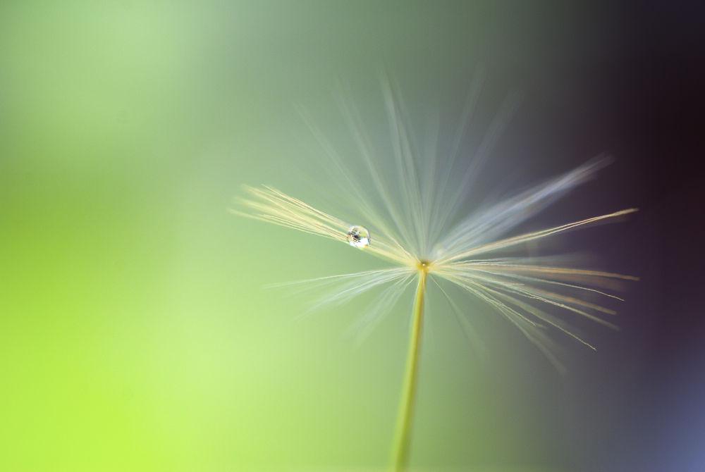 Photo in Nature #dandelion #green #nature #summer