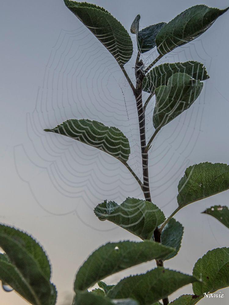Photo in Nature #dew drop #apple-tree #coweb #rosée #toile d'araignée #pommier