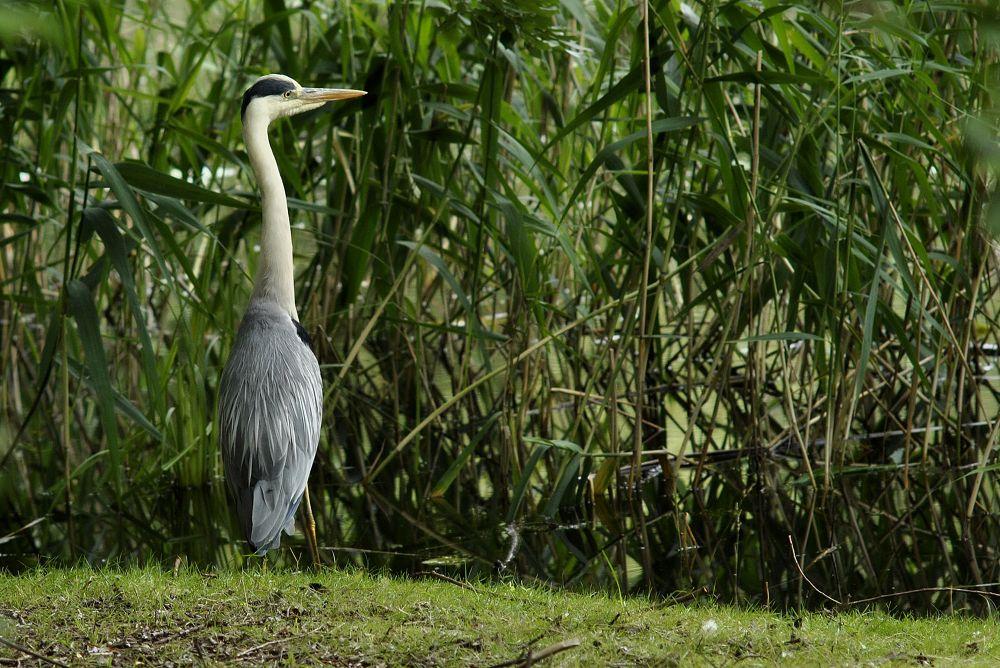 Photo in Animal #gray heron