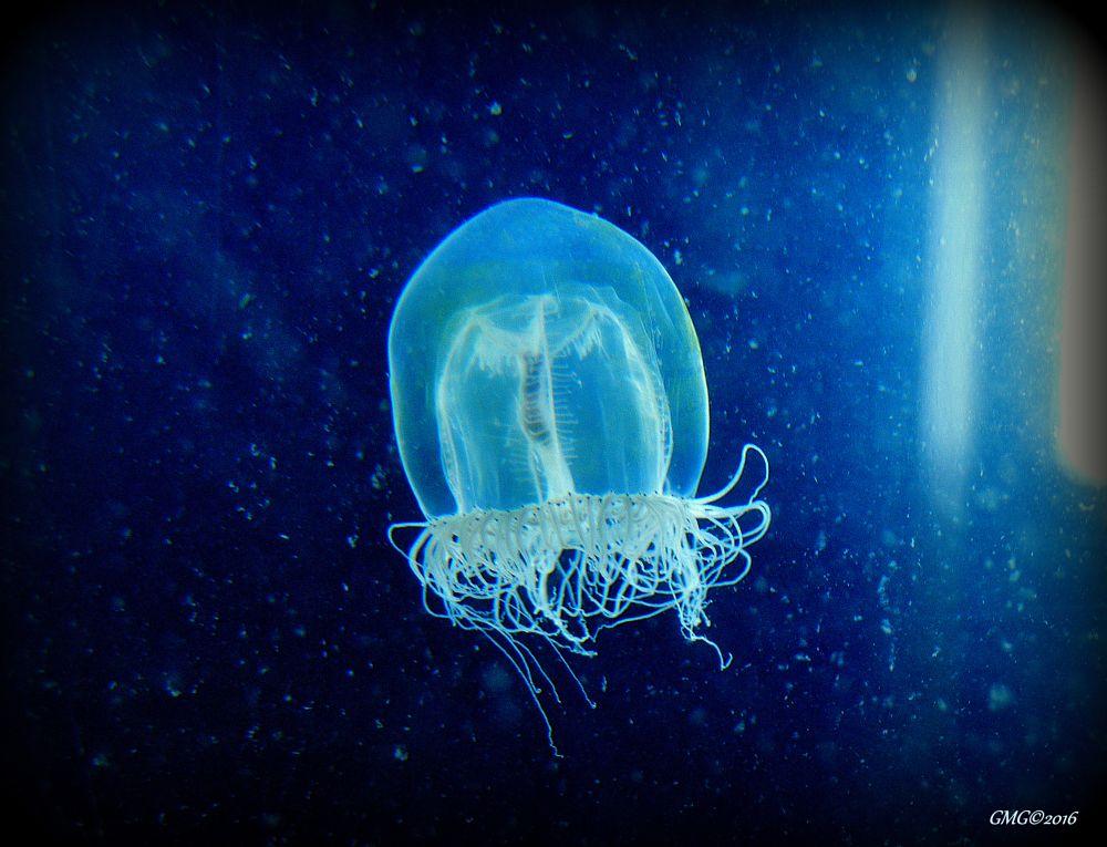 Photo in Animal #canada #bc #vancouverisland #water #jellyfish #ocean #marinelife #sea #invertebrate #animal #nature