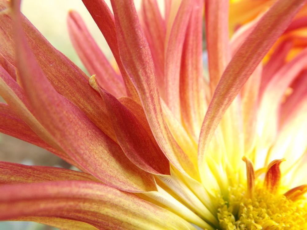 Photo in Macro #macro #flower #red #petals