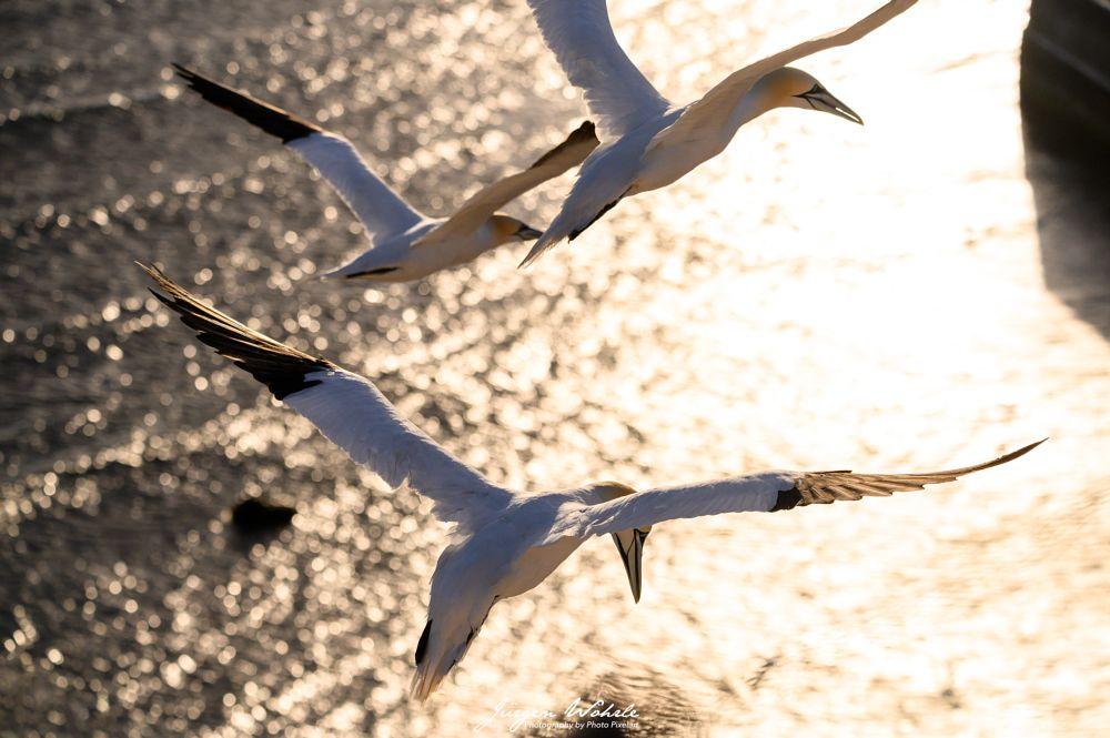 Photo in Aerial #water #sea #north sea #sun #light #sunlight #birds #seabird #sea bird #helgoland #germany #basstölpel