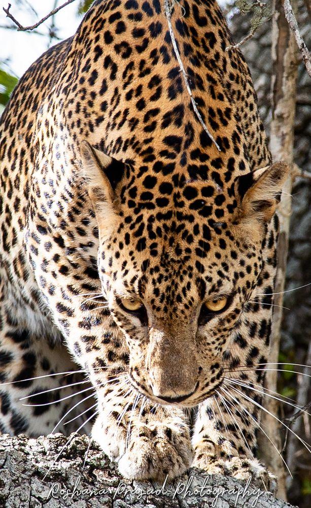 Photo in Animal #leopard #action #wildlife #wildlife_seeker