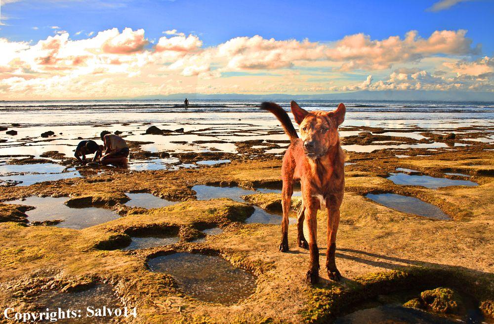 Photo in Animal #dog #doggy #wild #wild dog #animal #pet #beach #tide #ocean #children #play #sunset #balinese #culture