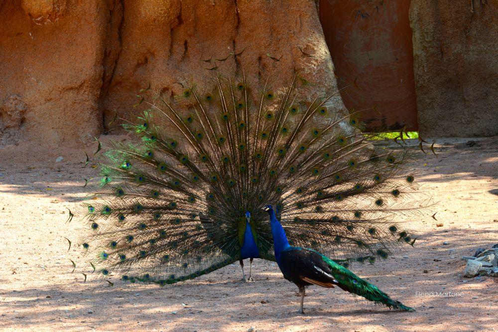 Photo in Animal #pavone #maschio #femmina #corteggiamento #coda #ruota