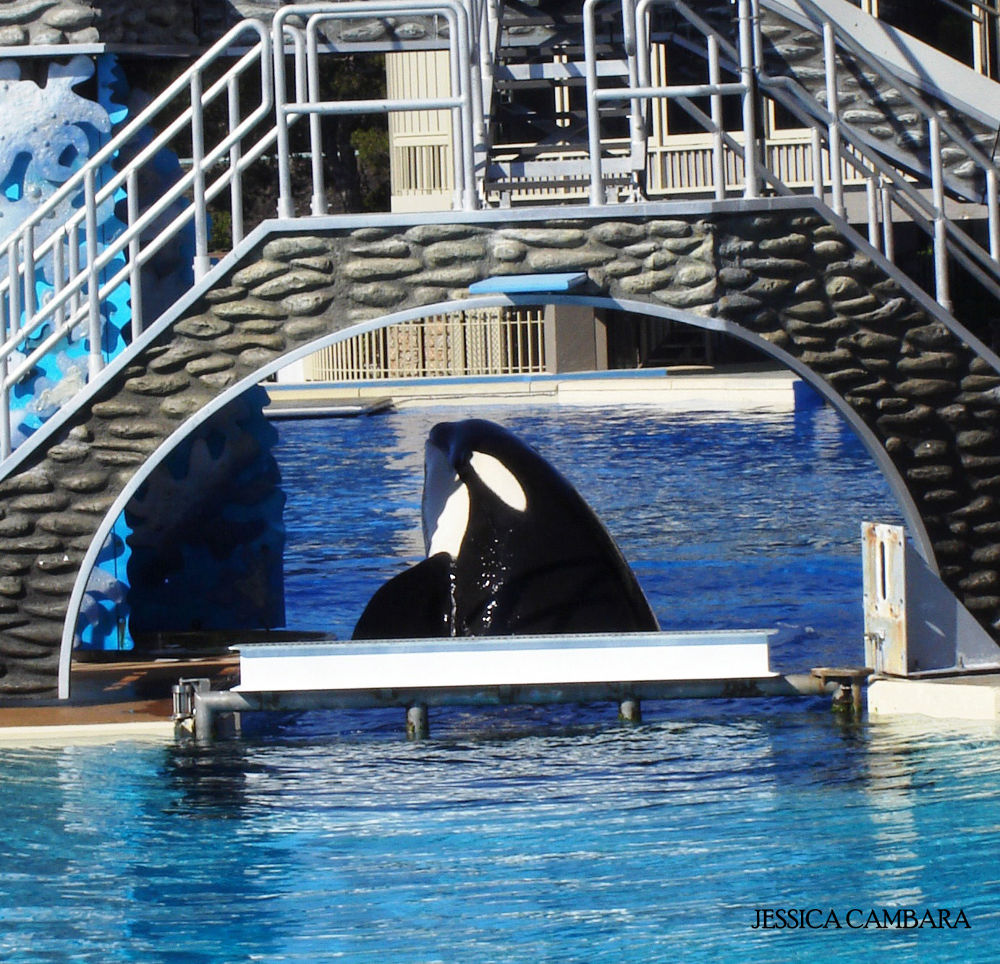 Photo in Random #orca whale #playing