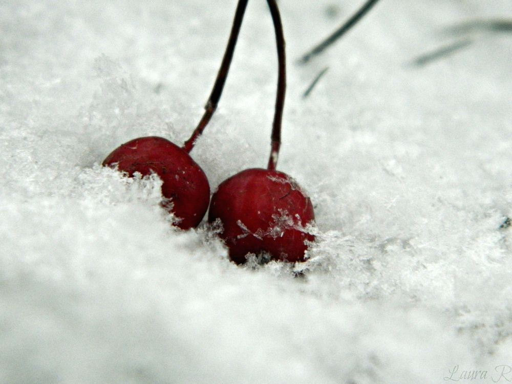 Photo in Nature #nature #red #winter