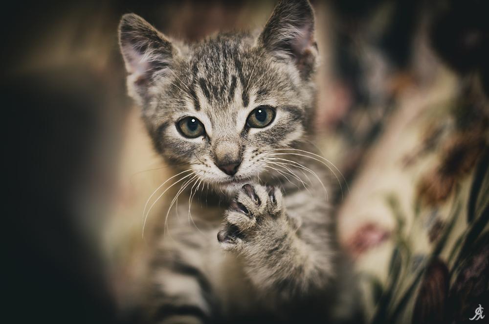 Photo in Animal #pepe #fun #seeker #divertimento #gatto #cat #cats #animal #animals #pet #pets #play #nature #sofa