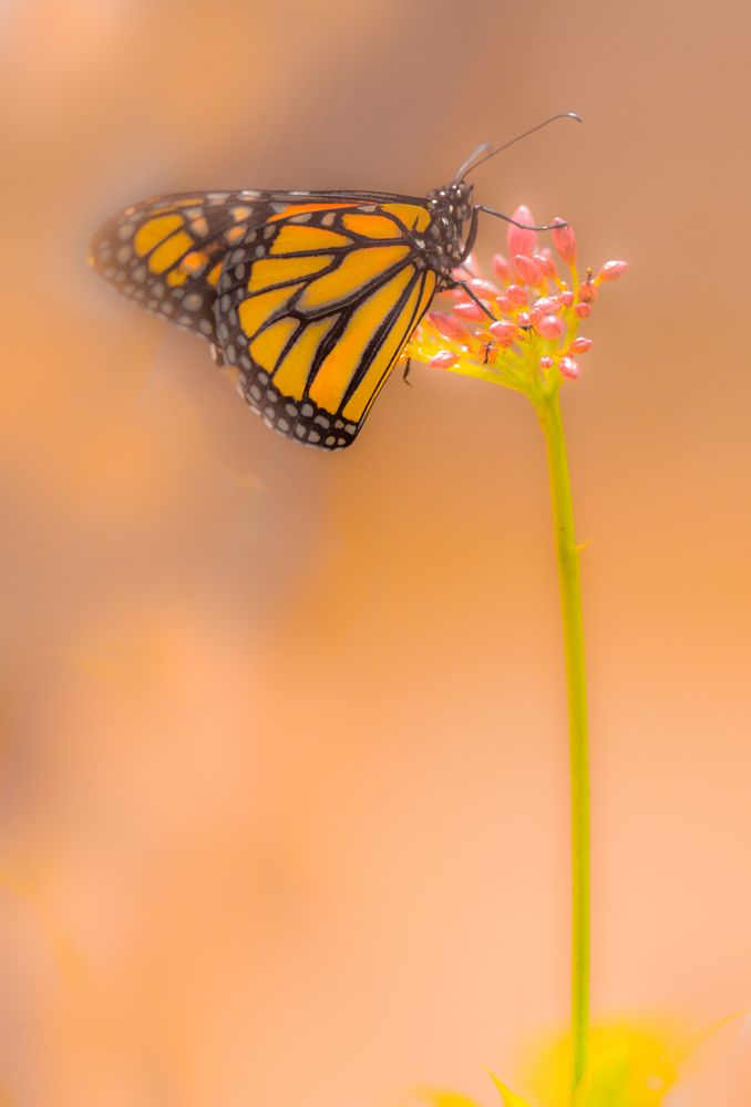 Photo in Fine Art #butterfly #monarch