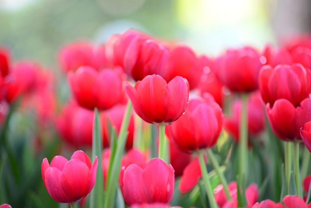 Photo in Nature #tulip #flower #nature #outdoor #hochiminh #city #hcmc #vietnam