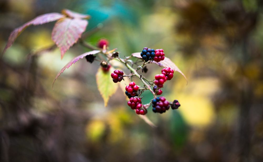 Photo in Food #berry #berries #blackberry #food #plant #growth #freshness #berry fruit #nature #outdoors #day #selective focus #wild berries #healthy food #wellbeing #ripe #fruit