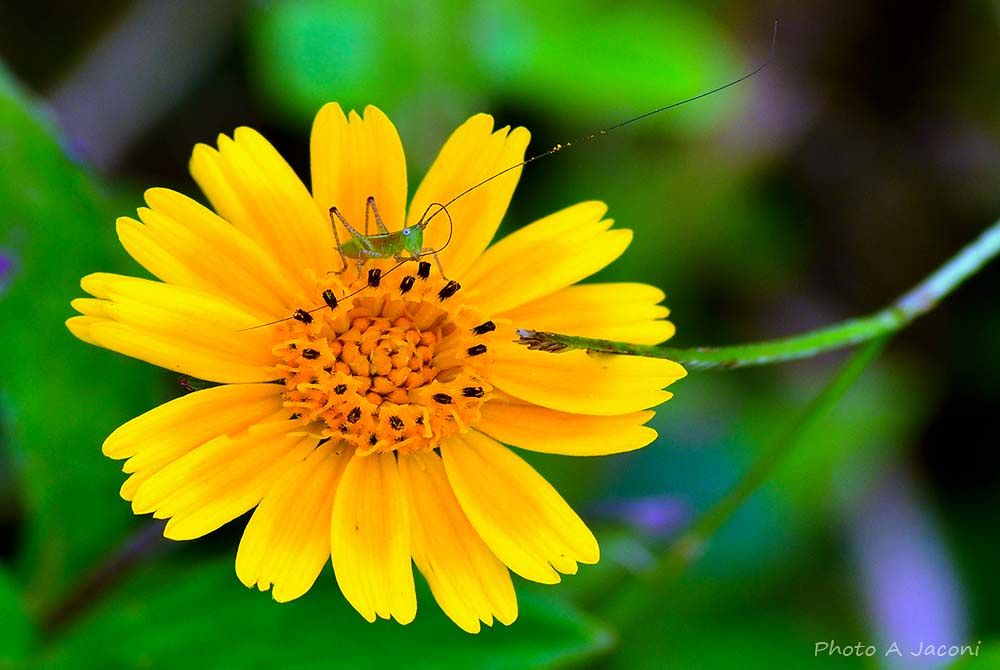 Photo in Nature #nature #brazil #colorfull #cricket #flowers #yellow #green #insect