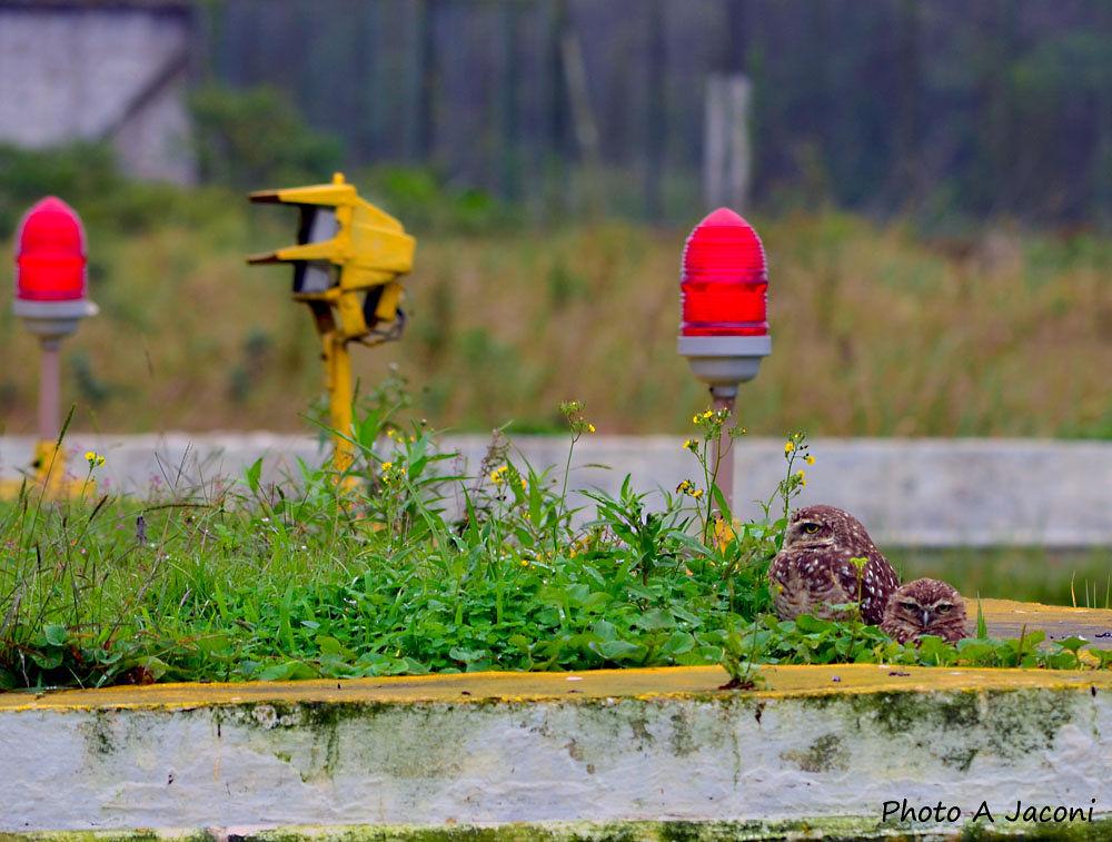 Photo in Animal #nature #owls #animal #brazil #birds