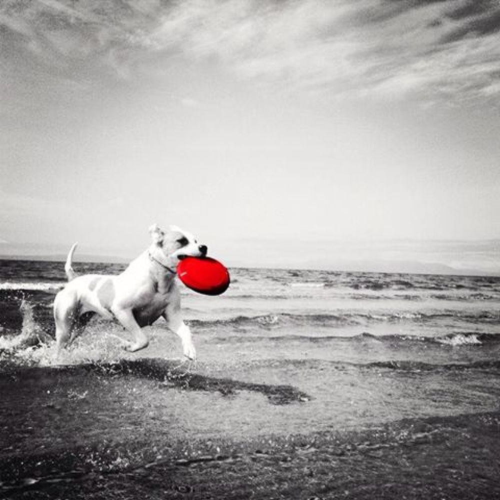 Photo in Animal #american bulldog #bella #red #black and white #beach #running #wet