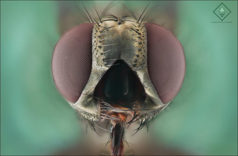 Photo in Macro #mosca #fly #macro #extreme #luciano #richino #eyes
