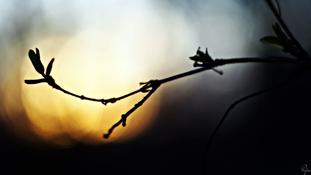 Photo in Nature #bud #buds #sun #leaves #sunset #manual lens #helios 44-2 #olympus e-pl5