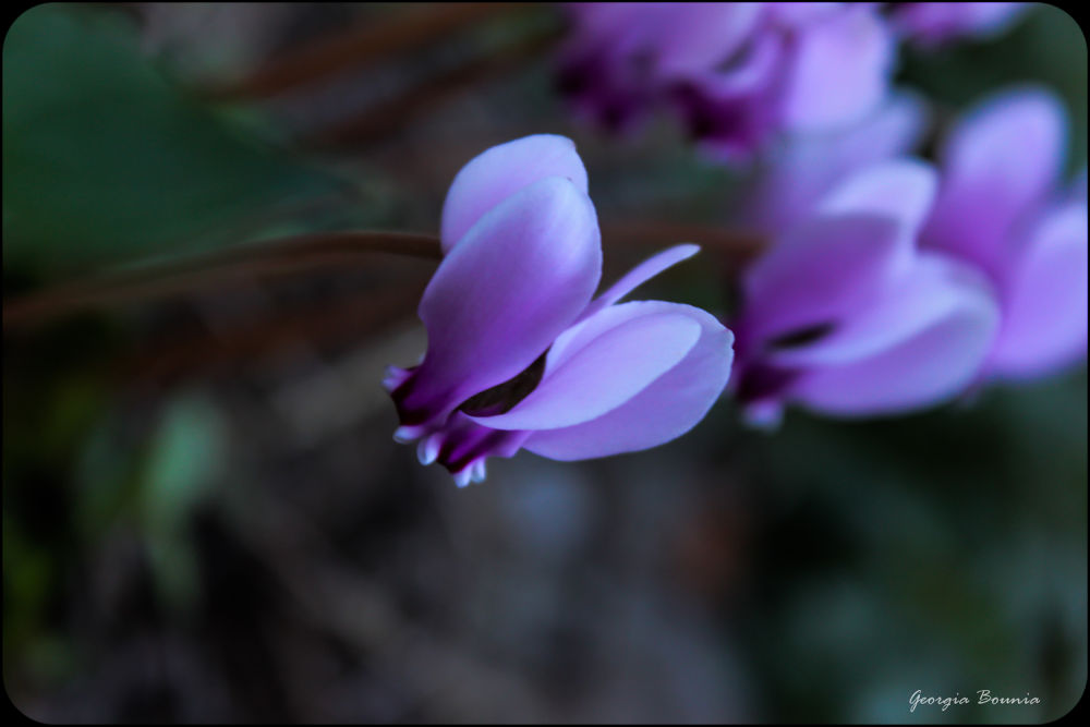 Photo in Nature #flowers #nature #cyclamen