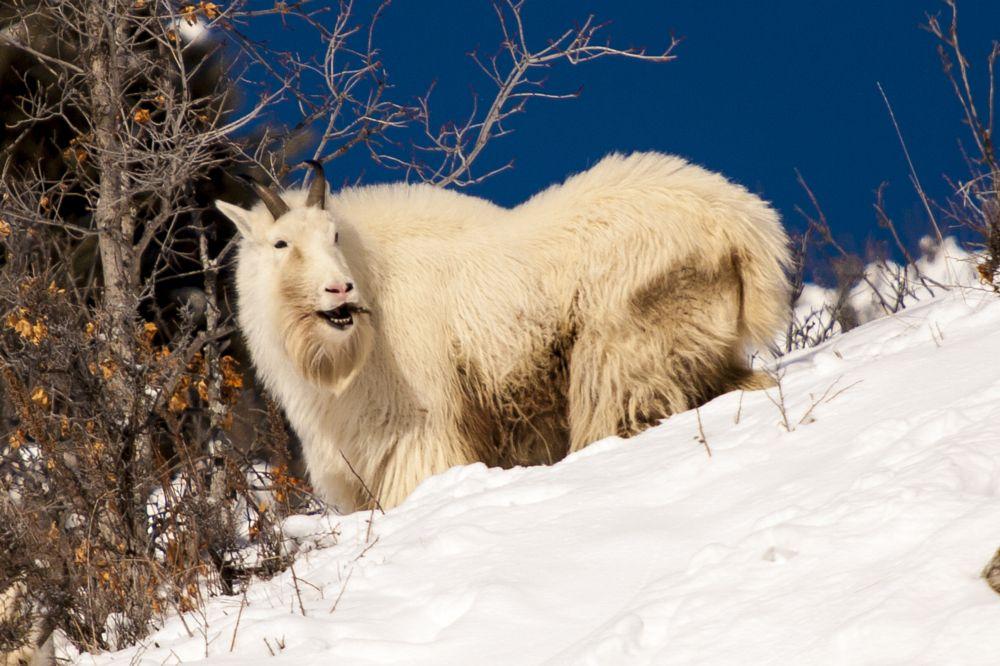 Photo in Animal #wildlife #mountain goat #winter